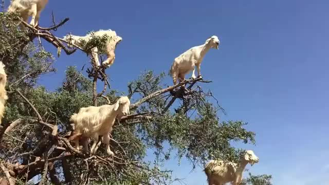 Watch and share Goats GIFs and Tree GIFs by GB on Gfycat