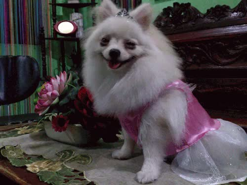 Watch and share Pomeranian GIFs and Doglover GIFs on Gfycat
