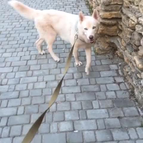 Watch and share Dogstagram GIFs and Huskygram GIFs by olkagu on Gfycat