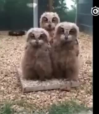 Watch Funny owls dancing GIF on Gfycat. Discover more related GIFs on Gfycat