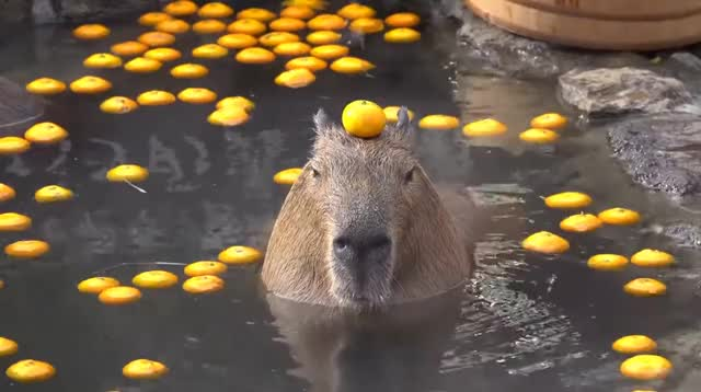Watch and share Capybara GIFs and Orange GIFs by ForgetfulPie on Gfycat