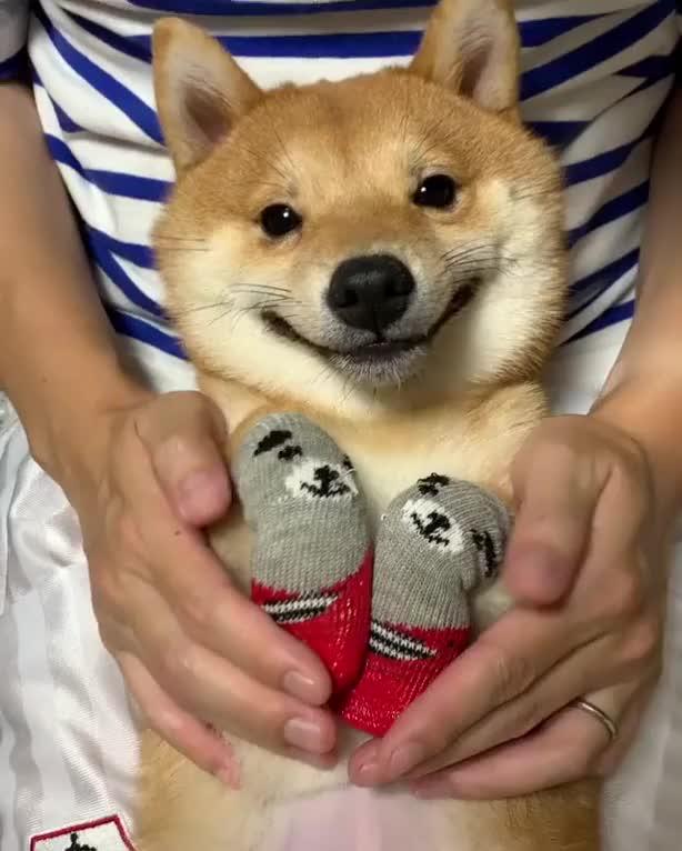 Watch and share Doggo Loves His Dog Socks GIFs on Gfycat