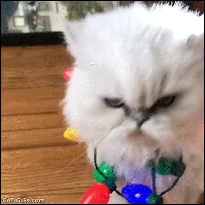 Watch Ho ho ho! Confused Persian Cat wearing flashing Xmas lights GIF on Gfycat. Discover more related GIFs on Gfycat