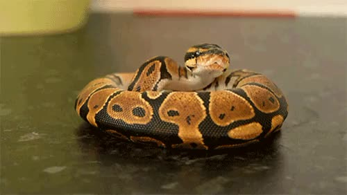 Watch Ball Python GIF on Gfycat. Discover more perfectloops GIFs on Gfycat