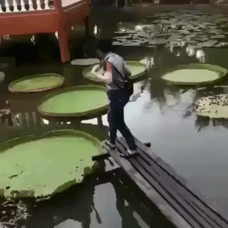 Watch The lily pads look like stepping stones GIF by @hellsjuggernaut on Gfycat. Discover more related GIFs on Gfycat