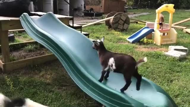 Watch Shenanigans with the slide at Goats Gone Grazing GIF by @b12ftw on Gfycat. Discover more friendsnotfood, goats_gone_grazing_acres GIFs on Gfycat