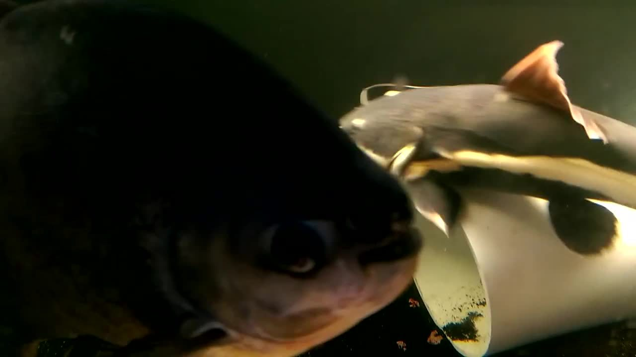 Aquariums, MonsterFishKeepers, nottheonion, Pacu Eating Grapes GIFs