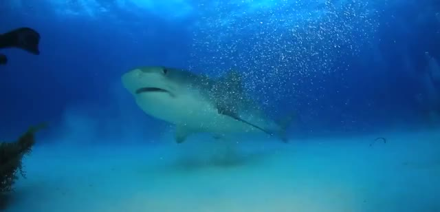 Watch and share Petting A Tiger Shark GIFs by KSG on Gfycat