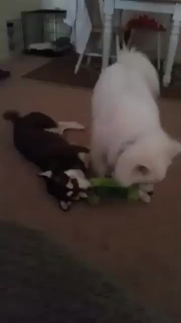 Watch and share Eskie GIFs and Aww GIFs by pbowden91 on Gfycat