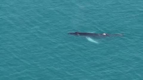 Watch and share Small Humpback Whale Off The Devo GIFs on Gfycat