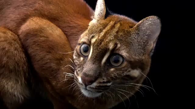Beautiful Asiatic golden cat GIFs