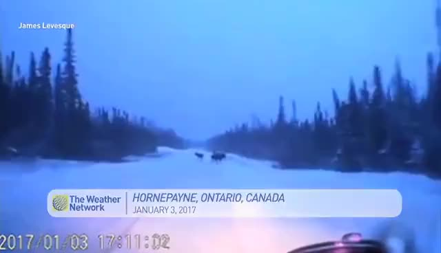 Watch and share Car Narrowly Avoids 4 Moose On Snowy Road GIFs on Gfycat