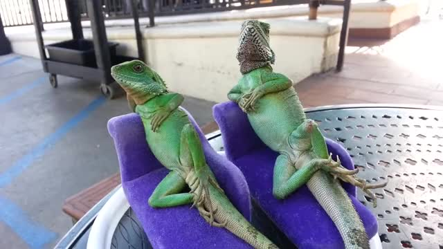 Watch Comfortable Lizards GIF by 3MillionDogs (@3milliondogs) on Gfycat. Discover more chillin, funny animals, henry lizardlover, lizard, lizards, relax GIFs on Gfycat