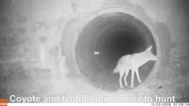Watch and share Coyote And Badger Hunting Together GIFs by Mahmoud M. Mahdali on Gfycat