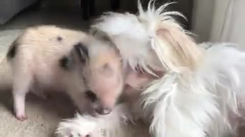 Watch and share Dog GIFs and Pig GIFs on Gfycat
