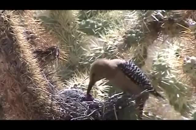 Watch Gila woodpecker eats brain matter from baby dove GIF on Gfycat. Discover more related GIFs on Gfycat