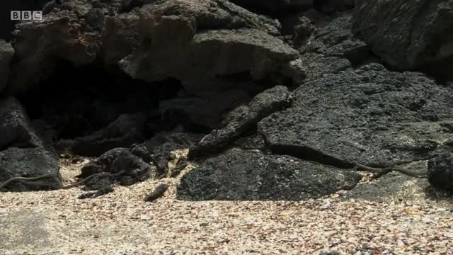 Watch and share From Birth, Marine Iguanas Fight For Their Lives - BBC's Planet Earth II GIFs on Gfycat