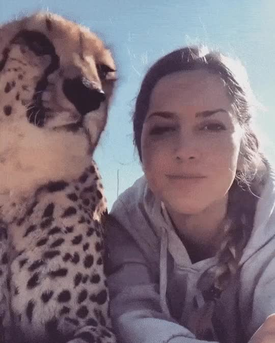 Watch and share Cheetah Cuddle GIFs on Gfycat