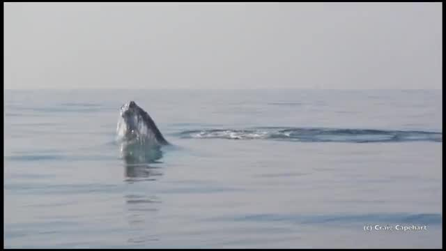 Watch and share Breaching Whale GIFs and Craig Capehart GIFs on Gfycat