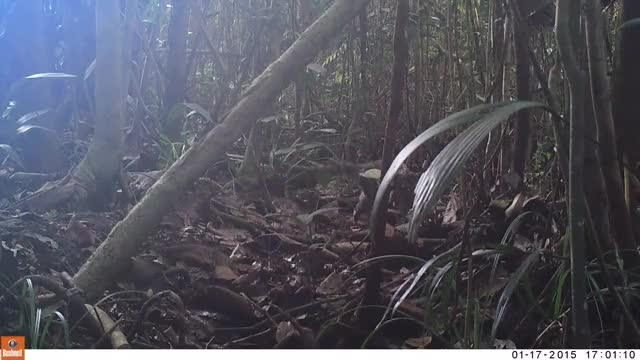Watch and share Sunda Clouded Leopard (Neofelis Diardi) GIFs by likkaon on Gfycat