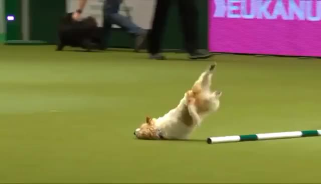 Watch and share Olly The Amazing Jack Russell & Karen At Crufts 2017 GIFs on Gfycat