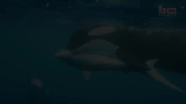 Watch Orcas Vs Shark: Killer Whales Take Down Tiger Shark GIF on Gfycat. Discover more Killer whale attack, Orca attack, killer whale, killer whales, orca, orca vs shark, orcas, orcas vs shark, shark, tiger shark GIFs on Gfycat