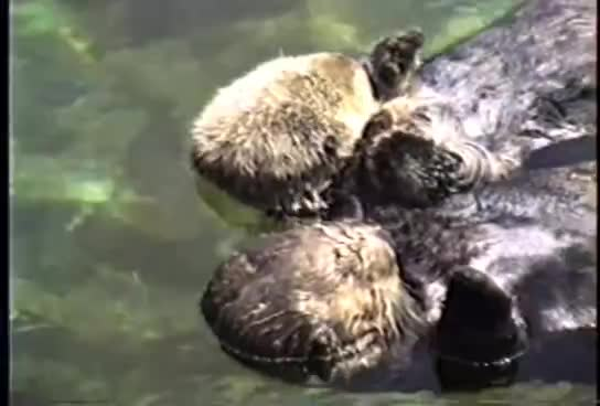 Otters, aquarium, coast, cute, hands, holding, oregon, yt:quality=high, Otters GIFs