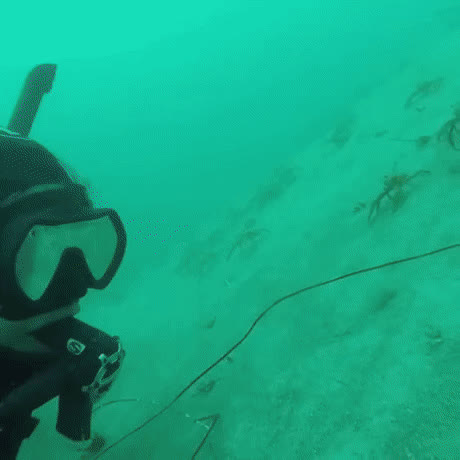 Curious Sea Spiders GIFs