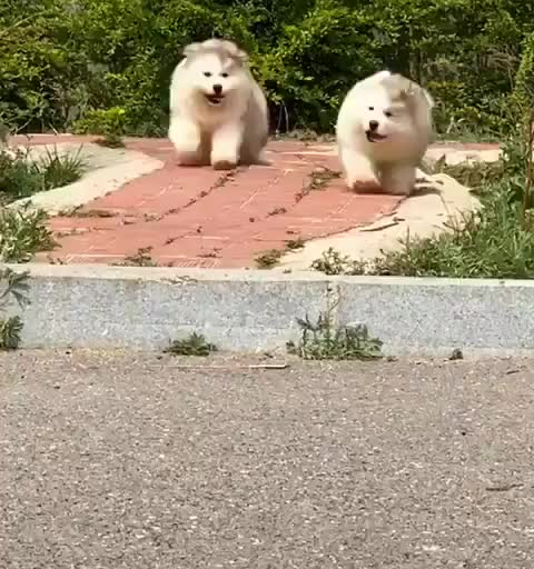 Curbs, the mortal enemy of many a fluff pupper GIFs