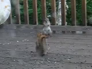 Watch and share Squirrel Fight GIFs on Gfycat
