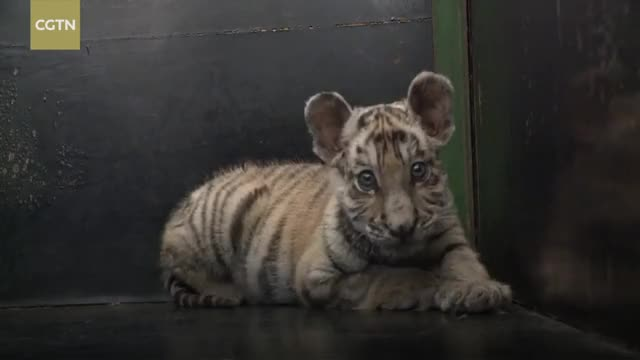 Watch Abandoned tiger cub Bao Li is cared for by devoted zookeeper Wang Xinyu from the Strange Slope Northeast Tiger Park GIF on Gfycat. Discover more CCTV, CCTVNews, CGTN, ChinaNews, News, animals, tiger, zookeeper GIFs on Gfycat