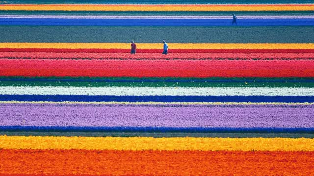 Watch and share Netherlands Tulip Fields Pixel Sorted GIFs on Gfycat