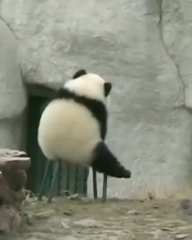 Watch Video By @thepandaworks GIF on Gfycat. Discover more panda, panda_clips, pandaexpress, pandai, pandalove, pandalover, pandalovers, pandas, pandastyle, pandaworld GIFs on Gfycat