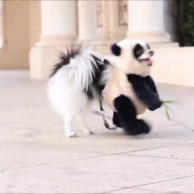 Watch and share GIF 434401 6fd5d3f0b9a644f184c9e812af58345b El Resultado De Una Mezcla Entre Un Perro Y Un Oso Panda GIFs on Gfycat