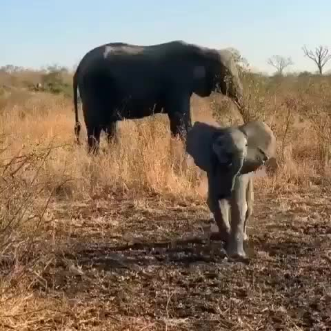 amazing, animallover, animalphotos, animals, babyelephants, bbcearth, discoverearth, discovery, earthpix, elephant, elephantlove, elephantparade, elephants, landscapelover, loveelephants, mothernature, naturelover, safari, wildlife, wildlifeonearth, 💓💓 Follow @elephantloversworld ❤❤ 📷 @elephantlover.s 🐘 🐘 🐘 🐘 GIFs