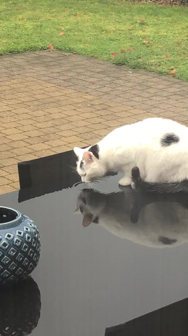 Watch My cat drinking water off the table GIF by @u_zyldr on Gfycat. Discover more related GIFs on Gfycat