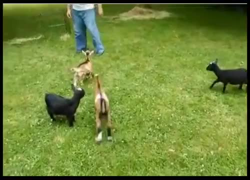 Watch Buttermilk the baby goat is an bully GIF on Gfycat. Discover more Mesut Özil, Rec#46, Sports GIFs on Gfycat