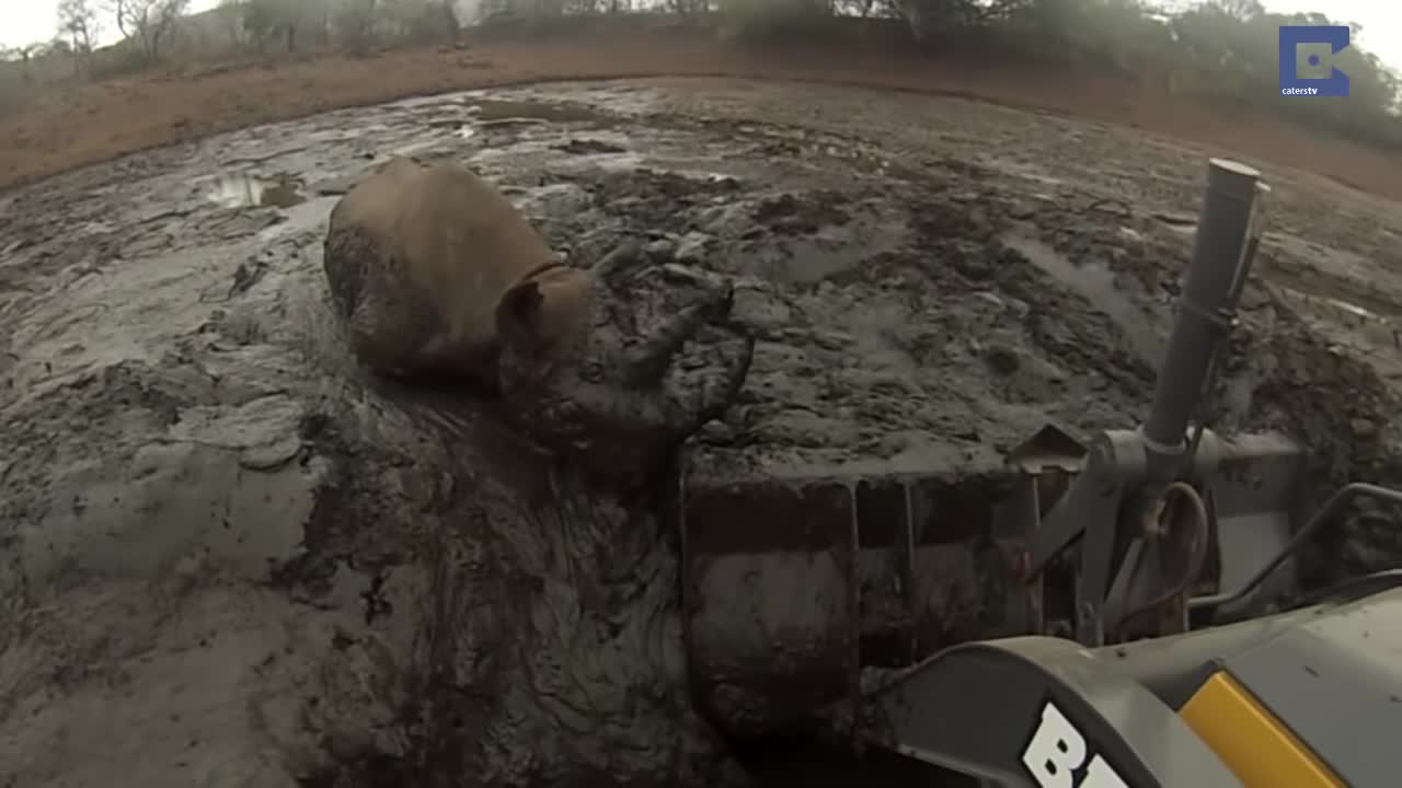 Africa, Caters Clips, Excavator, Faithinhumanity, Helping, Humansbeingbros, Mademesmile, Mud, Nature, News & Politics, Rhino, Wildlife, catersnewsagency, caterstv, Rhino Stuck In Mud Rescued By Digger short gif GIFs