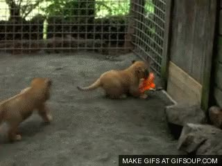 Watch lion cub GIF on Gfycat. Discover more related GIFs on Gfycat