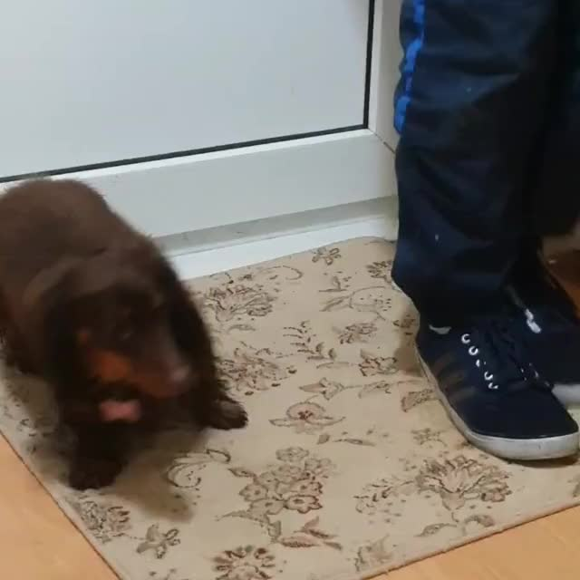 Watch and share Dixie The Dachshund GIFs on Gfycat