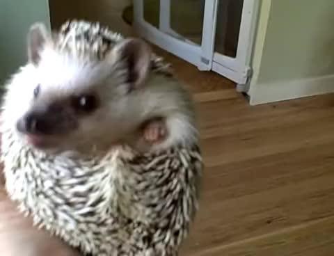 animals, cute, hedgehog, hedgehogs, sniffing, youtube, hedgehog GIFs