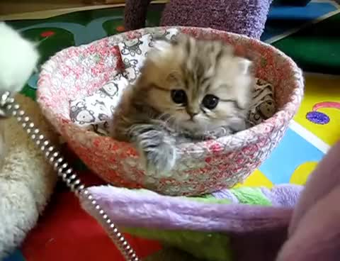 Watch I am kitten, hear me mew... GIF on Gfycat. Discover more cute, kitten GIFs on Gfycat