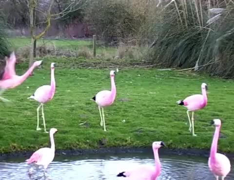 Watch and share Flamingo GIFs and Mad GIFs on Gfycat