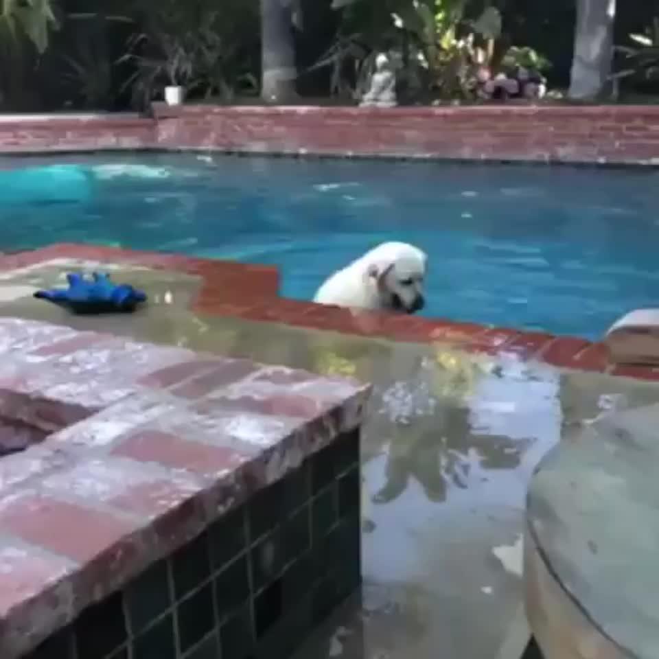 dog, pool,  GIFs