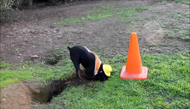 Watch Construction Dog Worker GIF on Gfycat. Discover more related GIFs on Gfycat