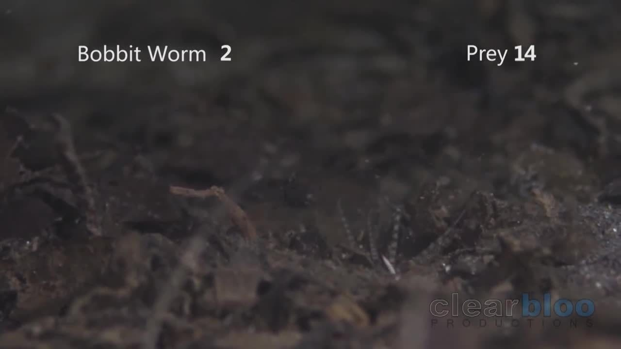 thedepthsbelow, The bobbit worm buries its long body into an ocean bed, where it waits patiently for a stimulus to one of its five antennae, attacking when it senses prey. Armed with sharp teeth, it is known to attack with such speed that its prey is sometimes sliced in half. (reddit) GIFs