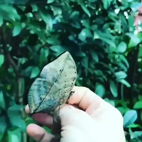 butterfly, oddly satisfying, Dead leaf butterfly GIFs