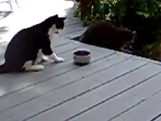 Watch RACCOON FOOD THIEF GIF on Gfycat. Discover more RACCOON CAT FUNNY GIFs on Gfycat