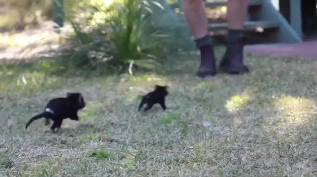 Watch Baby Tasmanian Devils - cute, huh GIF on Gfycat. Discover more BlondeAussieGirl1990 GIFs on Gfycat