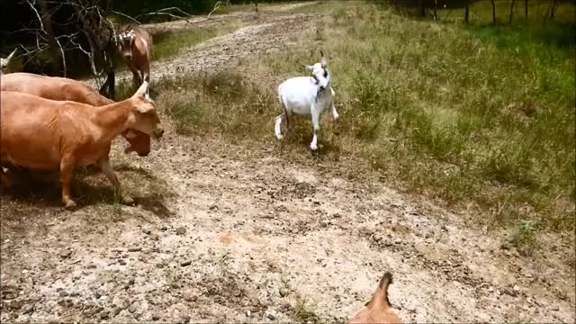 Watch Spin Jump down the Hill GIF by KNS Farm (@knsfarm) on Gfycat. Discover more cute, eyebleach, funny, goat, goat parkour, goatparkour, happy, knsfarm, parkour GIFs on Gfycat